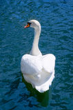 White swan swimms in blue water of a pond. Back vi Royalty Free Stock Photo