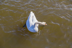 White swan swims along the river dives looking for food on a sunny afternoon. Beautiful white swan swims along the river dives looking for food on a sunny Royalty Free Stock Images