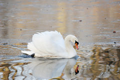White Swan swims in autumn pond Stock Photo