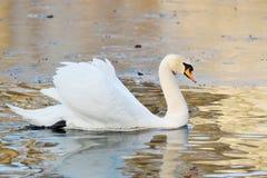 White Swan swims in autumn pond Royalty Free Stock Photo