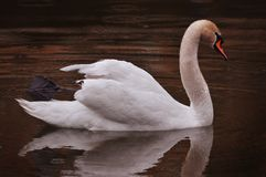 White Swan swims in the evening lake in the rain royalty free stock image