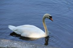 Lonely white Swan on the water stock photo