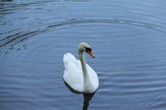 Lonely white Swan on the water royalty free stock photos