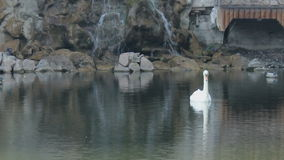 White swan swims in the lake stock footage
