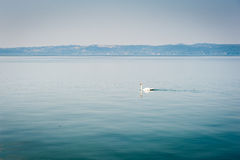 White swan swims on a lake in haze morning Stock Photography