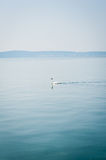 White swan swims on a lake in haze morning Royalty Free Stock Images