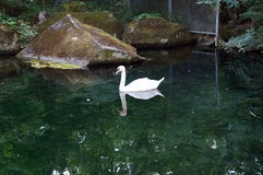 White swan swims in the lake of the moon Royalty Free Stock Image