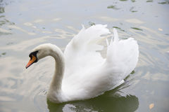 White swan swims in the lake Stock Photo