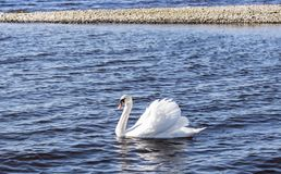 A white swan swims in a lake on a sunny windy day stock photo