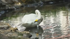 Swan swims in a pond. White swan swims in a pond stock video footage