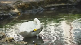 Swan swims in a pond. White swan swims in a pond stock video