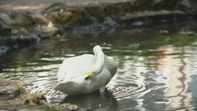Swan swims in a pond. White swan swims in a pond stock footage