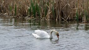 White swan swims. Ripples on the water and dry reeds in the background royalty free stock photo