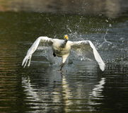 White Swan take-off Stock Photo
