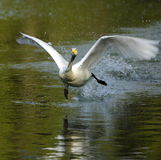 White Swan take-off Royalty Free Stock Photos