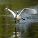 White Swan take-off