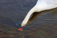 White swan takes food under water near the river bank Stock Images