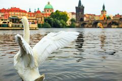 White swan taking off from water on Vltava river, towers, Charles Bridge and Prague Old Town in background, Czech republic. Stock Photo