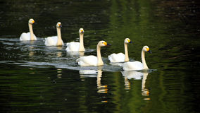 White Swan team Royalty Free Stock Photo