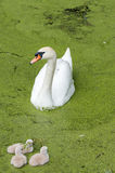 White swan with three ducklings swimming in duckweed Stock Photography