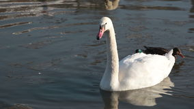White swan and three ducks stock footage