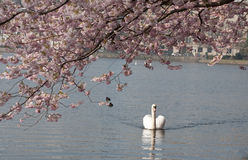 White swan under blooming tree Stock Image