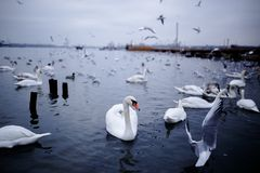 White swan among various bird species, floating on the cold black sea, during in the winter. royalty free stock image