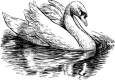 White swan. Vector drawing of a white floating swan Stock Photos