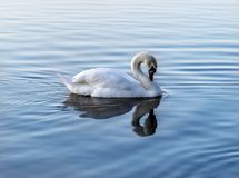 White swan is a very beautiful bird stock illustration