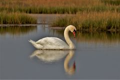 White Swan swimming on a peaceful morning royalty free stock images