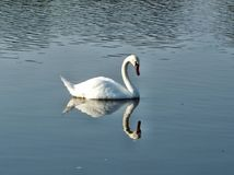 White swan on the Vistula river with head down Stock Images