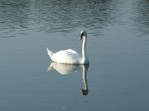 White swan on the Vistula river with head up Stock Image