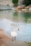 White swan walking on the beaches of Montenegro. Budva and Sveti Stock Image