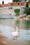 White swan walking on the beaches of Montenegro. Budva and Sveti Royalty Free Stock Photo