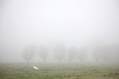 White swan walking in meadow in the mist royalty free stock image