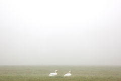 White swan walking in meadow in the mist Royalty Free Stock Photos
