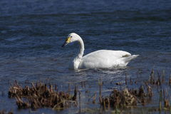 A white swan in wate Stock Image