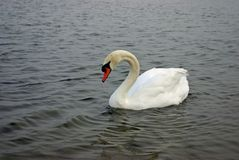 White Swan in Water Royalty Free Stock Images