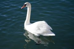 White swan on water. Beautiful white swan on water stock photos