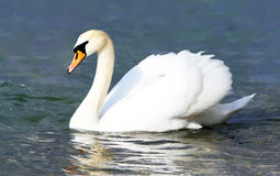 White swan in the water Stock Image