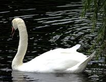 White swan in water Stock Photography