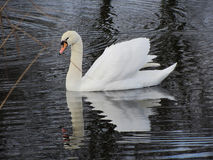 White swan in water Royalty Free Stock Photo