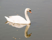 White swan in the water Royalty Free Stock Photo