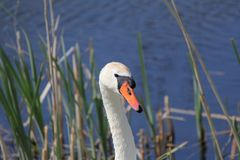 A white swan in the water closeup. A great white swan between the reeds in the water in spring closeup Stock Photography