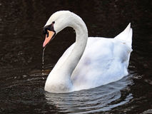 White Swan on water Stock Images