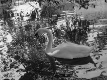 white swan on the water. Black and white photography. stock photo