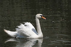 White swan in the water. Royalty Free Stock Photo