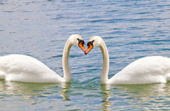 White swan in the water, in love Royalty Free Stock Photo