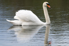 White Swan, water mirror, in spring 2016 Stock Image