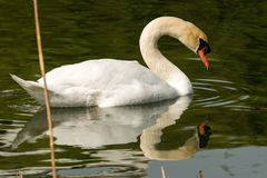 White Swan on the Water. White mute swan Cygnus olor in the water among reeds Stock Photos